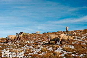 Photo : Mouton en hiver, Grand Ballon, Haut-Rhin (68)