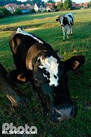 Photo : Vaches Holstein, Mutzenhouse, Bas-Rhin (67)
