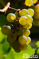 Photo : Grappe de Raisin de Pinot Blanc, Goxwiller, Bas-Rhin (67)