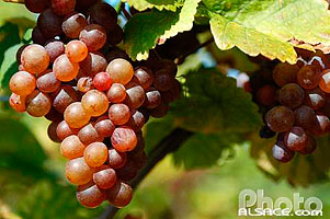Photo : Grappe de Raisin de Gewurztraminer, Goxwiller, Bas-Rhin (67), Alsace, France