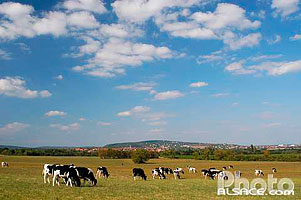 Photo : Vaches Holstein dans un pre, Heiligenstein, Bas-Rhin (67)