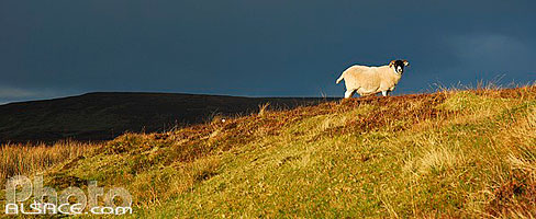 Photo : Mouton, Trotternish, Isle of Skye, Highlands, Scotland, United Kingdom