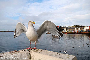Photo : Goéland argenté (Larus argentatus), Oban, Argyll and Bute, Strathclyde, Scotland, United Kingdom