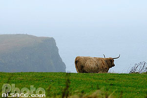 Photo : Vache Highland, Trumpan, Waternish, Isle of Skye, Highlands, Scotland, United Kingdom