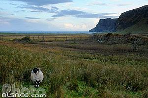 Photo : Mouton (Blackface Sheep), Talisker Bay, Isle of Skye, Highlands, Scotland, United Kingdom