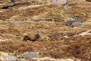 Cerf elaphe, Applecross, Highlands, Scotland, United Kingdom