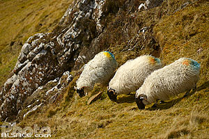 Photo : Mouton (Blackface Sheep), Quiraing, Isle of Skye, Highlands, Scotland, United Kingdom