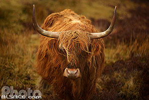 Photo : Vache Highland, Isle of Skye, Highlands, Scotland, United Kingdom