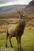 Photo : Cerf elaphe (cervus elaphus), Glen Coe, Highlands, Scotland, United Kingdom