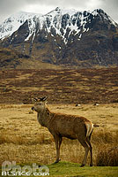 Photo : Cerf elaphe (cervus elaphus) et Stob a' Ghlais Choire, Glen Coe, Highlands, Scotland, United Kingdom
