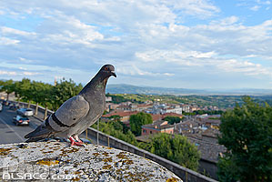 Photo : Pigeon, Pérouse, Ombrie, Italie