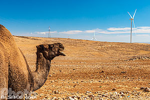 Photo : Dromadaire et éoliennes au bord de la route du Roi (King's Highway), Ma'an, Jordanie