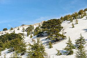 Photo : Forêt de Cèdres de Barouk (Barouk Cedar Forest) sous la neige au printemps, Réserve naturelle du Chouf (Shouf Biosphere Reserve), Barouk, Mont-Liban, Liban