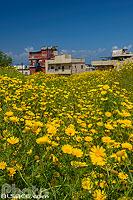 Photo : Fleurs jaunes au printemps à Saïda vue depuis le château Saint-Louis (Château de terre), Saïda (Sidon), Liban-Sud, Liban