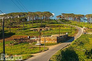 Ferme au bord de la route et forêt de Pin parasol, Dimachqiyeh, Liban-Sud, Liban, Liban-Sud, Liban
