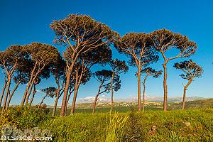 Forêt de Pin parasol à Mahmoudiyeh, Liban-Sud, Liban, Liban-Sud, Liban