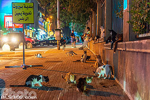 Photo : Les chats de l'AUB (American University of Beirut) la nuit, Rue Bliss, Ras Beyrouth, Beyrouth, Liban