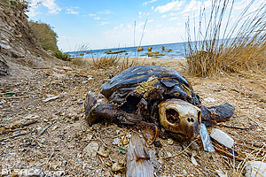 Photo : Tortue verte morte sur une plage de Tyr (Sour), Liban-Sud, Liban