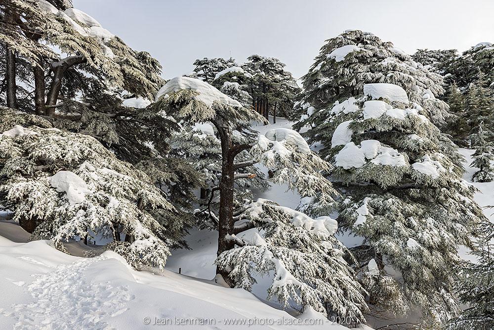 Forêt des Cèdres de Dieu sous la neige en hiver, Liban, Février 2020